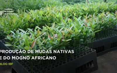 A produção de mudas nativas do IBF (Instituto Brasileiro de Florestas)