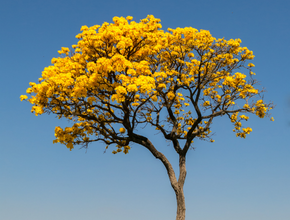 Ipê Amarelo Da Serra