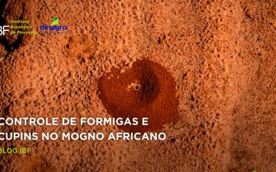 Como funciona o controle da formiga cortadeira no Mogno Africano?