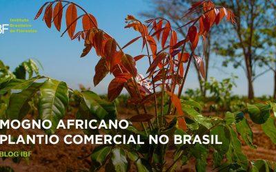 Plantio comercial de mogno africano no Brasil