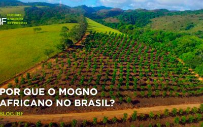 Por que o Mogno Africano no Brasil?