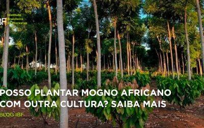 Posso plantar mogno africano com outra cultura? Saiba mais