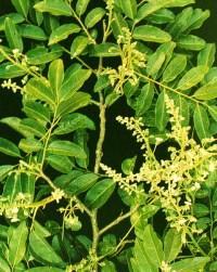 Cabreuva Myroxylon peruiferum