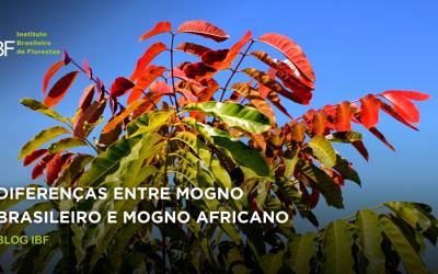Diferenças entre Mogno Brasileiro e Mogno Africano