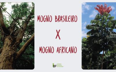 Saiba as diferenças entre mogno brasileiro e mogno africano