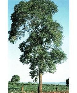 árvore guatambu