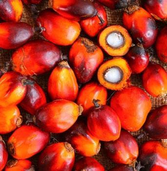 fruto palmito pupunha
