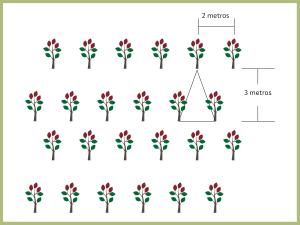 espaçamento 3x2 para plantio de mogno africano