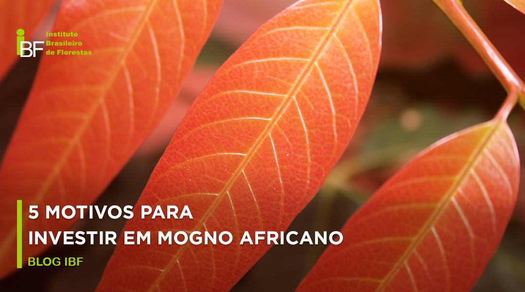 investir em mogno africano