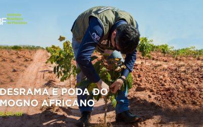 Poda ou desrama do mogno africano: como fazer?