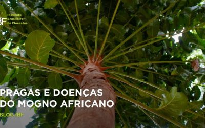 Pragas e doenças do mogno africano