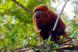 macaco guariba da Amazônia