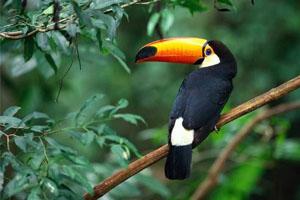 tucano da Amazônia